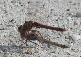 a-dragonfly.jpg