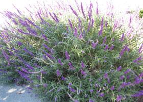 a-lavender.jpg