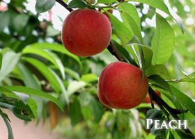 f-peach.jpg